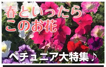 春といったらこのお花「ペチュニア大特集♪」