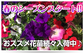 春のシーズンスタート 春のペチュニア特集